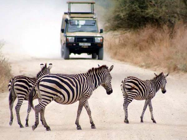 Zebras crossing the road