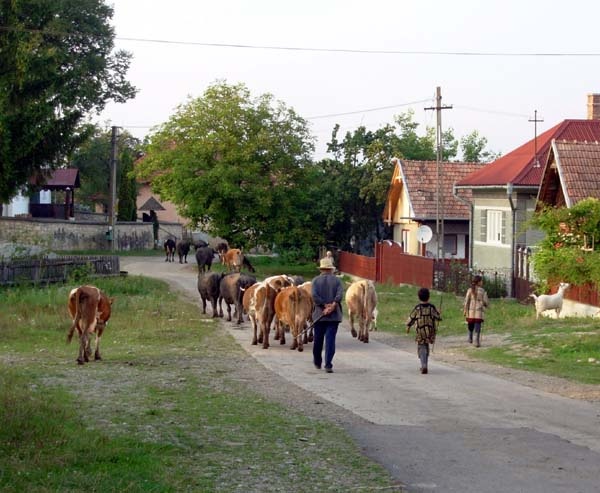 Cows on the road in a village